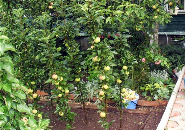 Сбор урожая яблок «Валюта» на даче