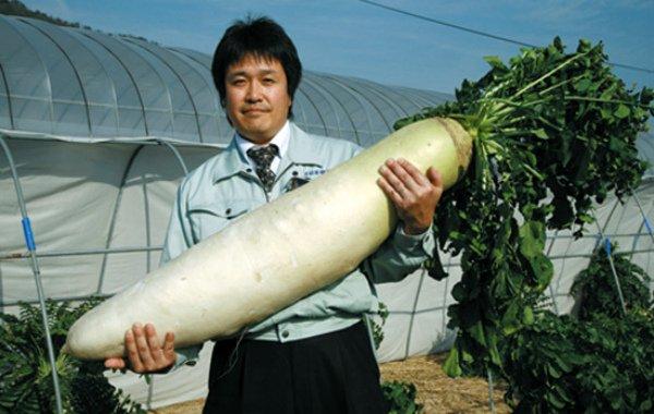 Гигантский дайкон, выращенный в Японии