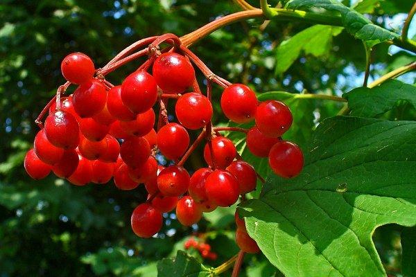 Гроздь ягод калины летом