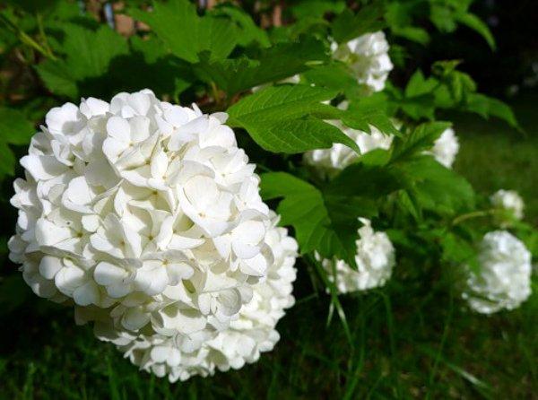 Калина Бульденеж как выглядит растение описание вида