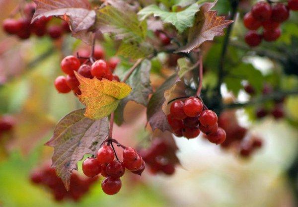 Осенняя ягода-калина в саду