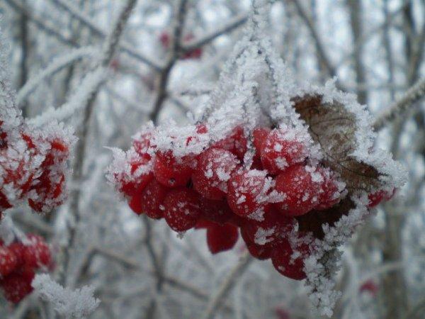 Подмерзшие ягоды калины зимой