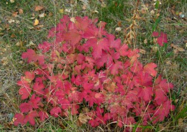Осеннее убранство калины Бульденеж