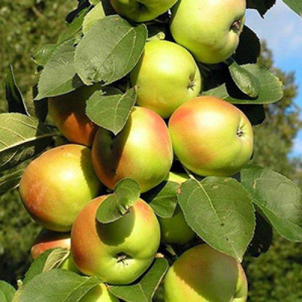 Яблоня Янтарное ожерелье со спелыми плодами