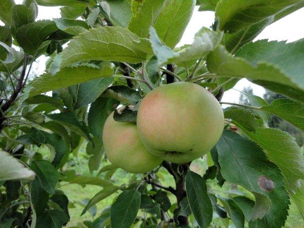 Плоды молодой яблони Янтарное ожерелье