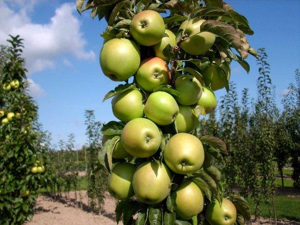 Яблоня сорта Янтарное ожерелье в саду