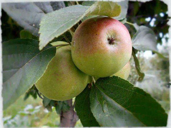 Созревающие яблоки Янтарное ожерелье на ветках