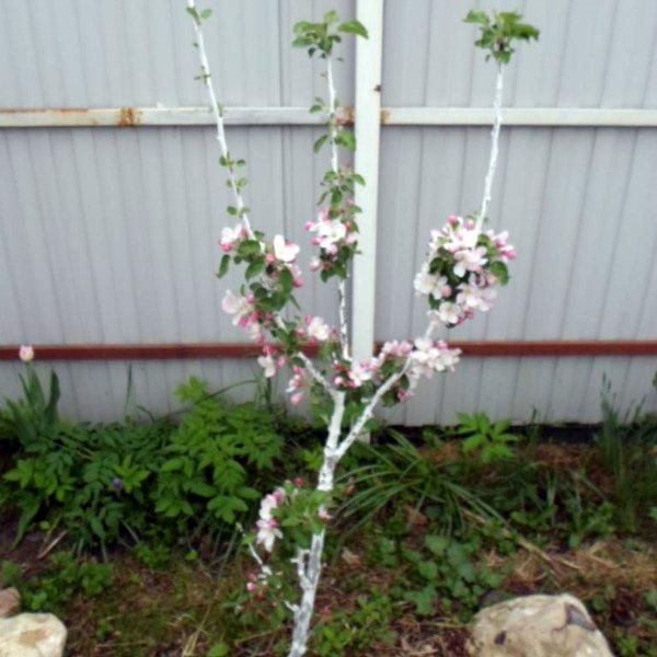 Цветение колоновидной яблони весной