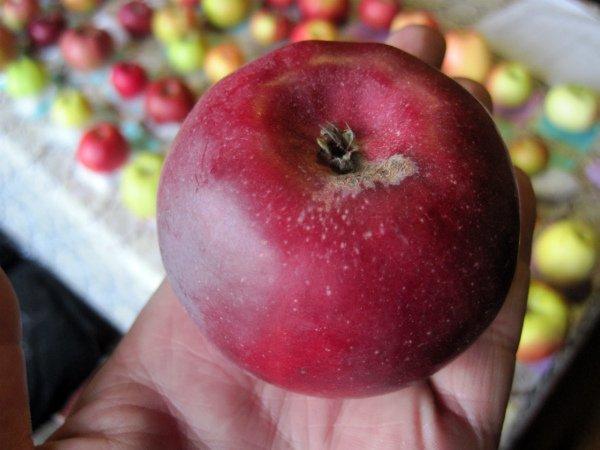 Спелое яблоко сорта Московское ожерелье
