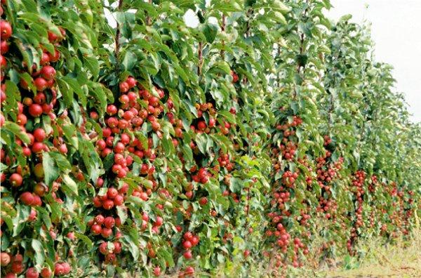 Размещение колоновидных яблонь на участке рядами