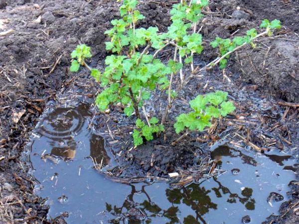 Внесение жидких удобрений под корень крыжовника