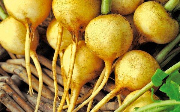 Золотистые плоды раннего редиса «Злата»