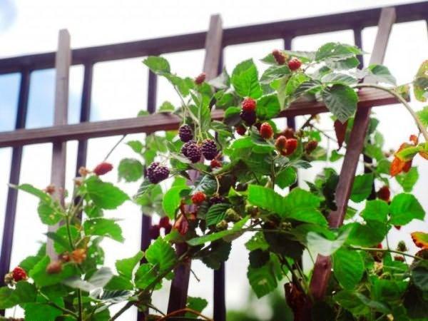 Выращивание садовой ежевики на шпалерах