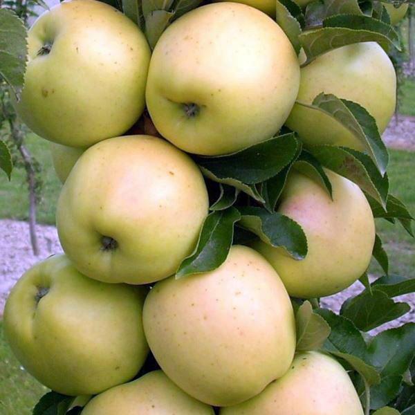 Плоды яблони сорта Медок