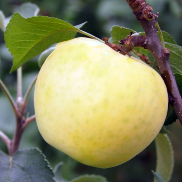 Яблоко сорта Медок крупным планом