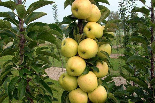 Плодоношение колоновидной яблони Медок