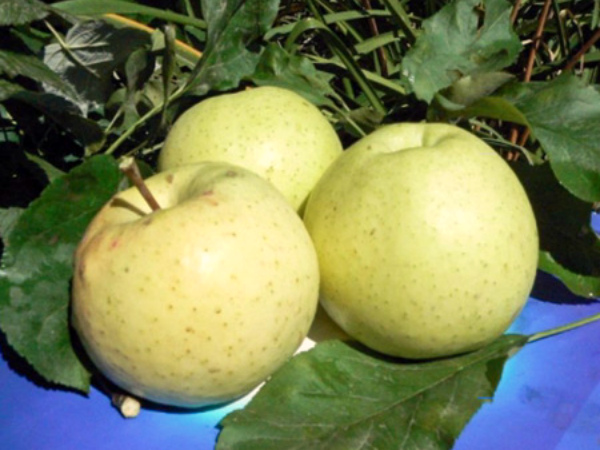 Урожай яблок сорта Медок
