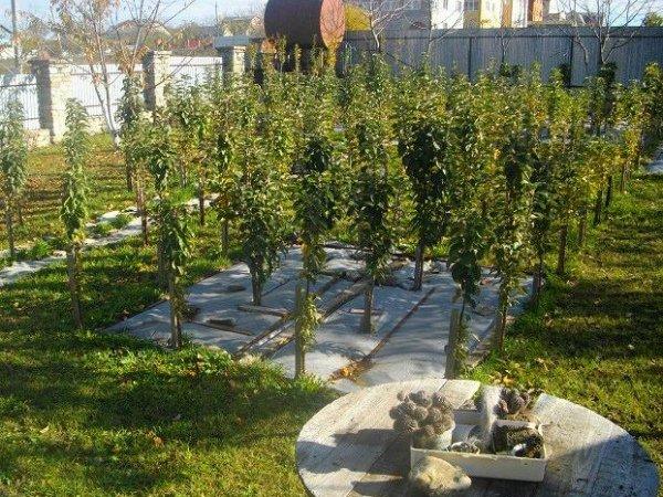 Однолетние саженцы колоновидной яблони в саду
