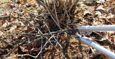 Осенняя санитарная обрезка куста крыжовника