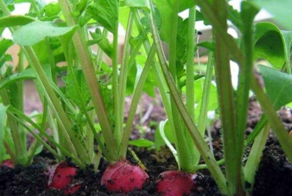 При нарушении сроков посева редис уходит в ботву