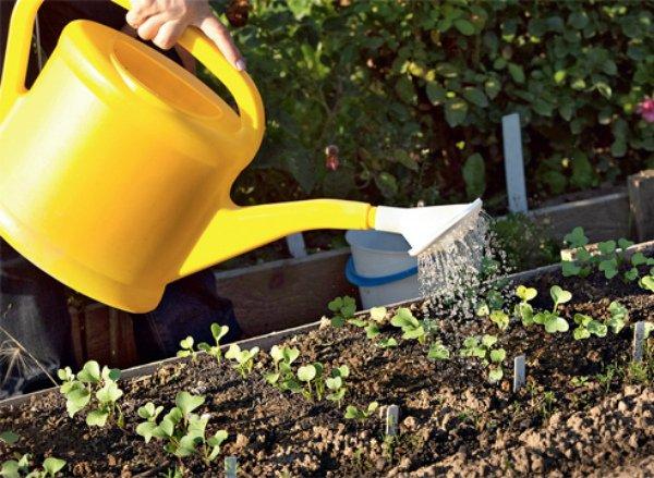 Полив ростков редиса на грядке