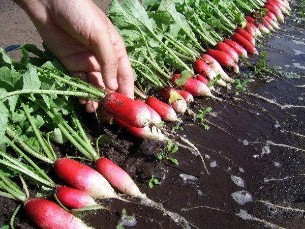 Сбор урожая редиски весной