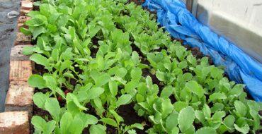 Выращивание ранней редиски в теплице