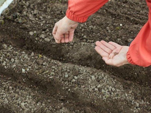 Посев семян редьки в подготовленную почву