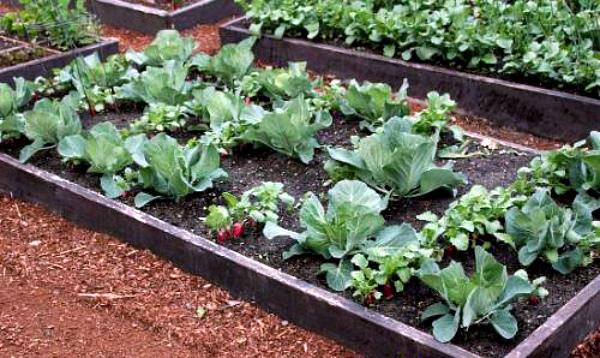 Совместные посадки редиса и салата