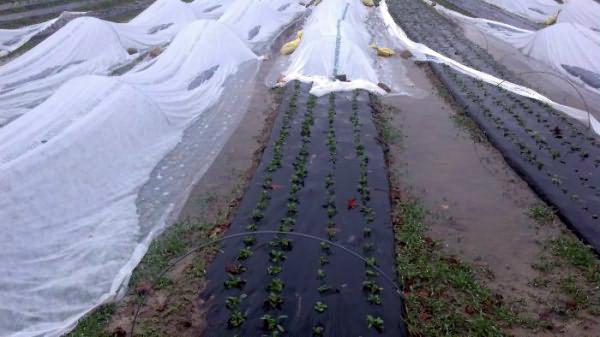 Выращивание редиски под пленкой
