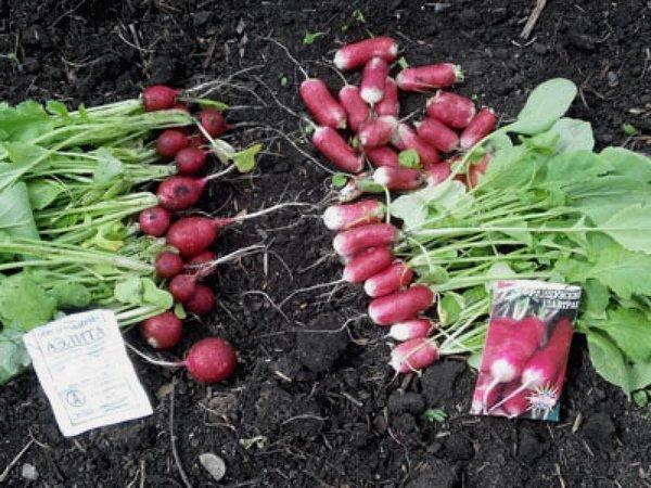 Два сорта редиса для выращивания в теплице