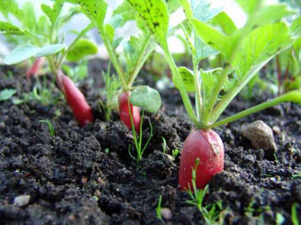 Выращивание редиски на семена
