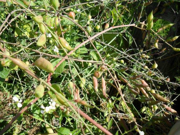 Стручки семенной редиски на огороде