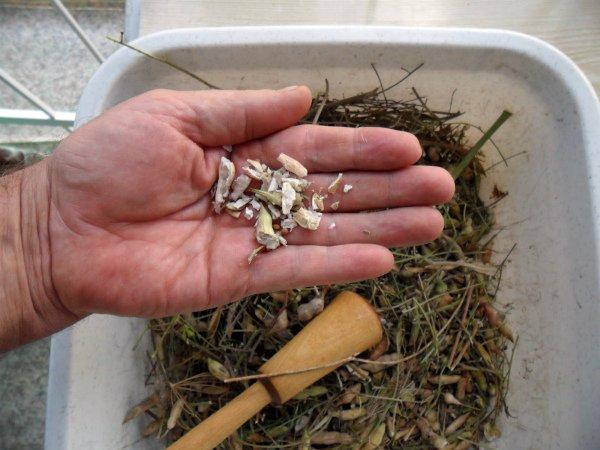 Как собрать семена редиса в домашних условиях пошаговая инструкция и полезные советы