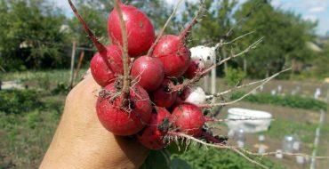 Уборка урожая редиски вручную