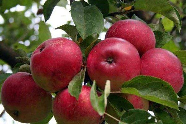 Зрелые плоды яблони Солнцедар на ветках