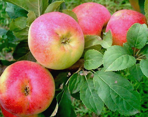 Созревание яблок сорта Солнцедар
