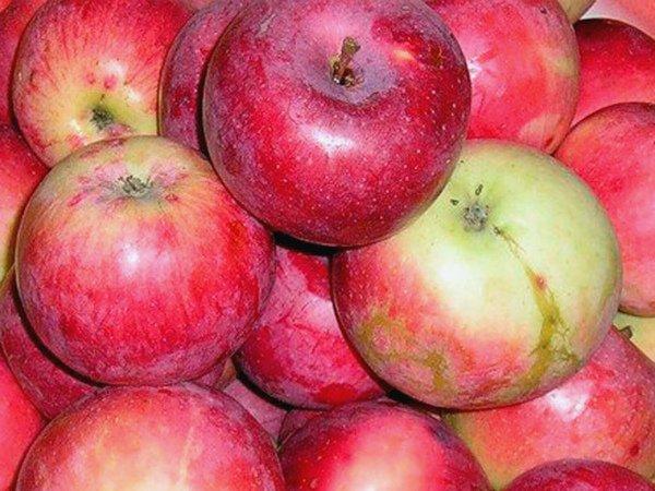 Собранный урожай яблок Солнцедар