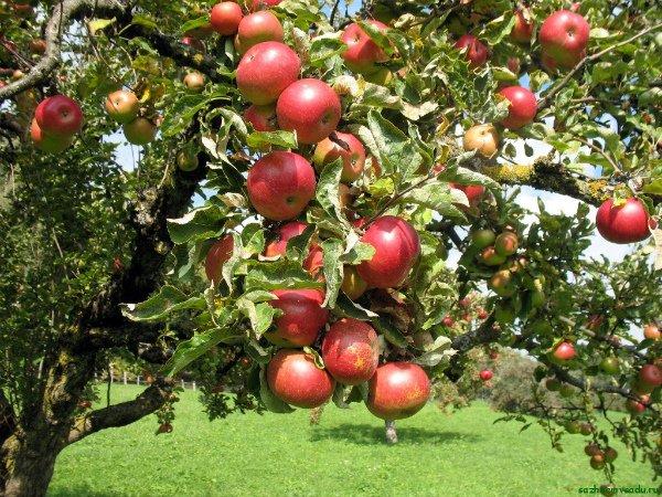 Плодоносящая яблоня сорта Солнцедар