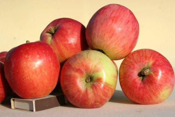 Спелые плоды яблони Солнышко