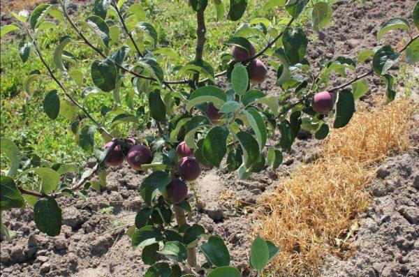 Молодая яблоня сорта Имант