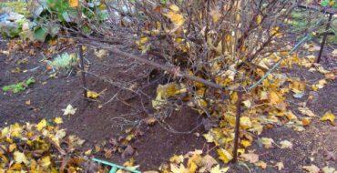 Уборка листьев и сорняков под крыжовником осенью