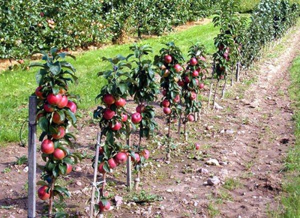 Выращивание яблони Васюган в саду
