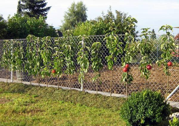 Молодые яблони Васюган, посаженные вдоль забора на даче