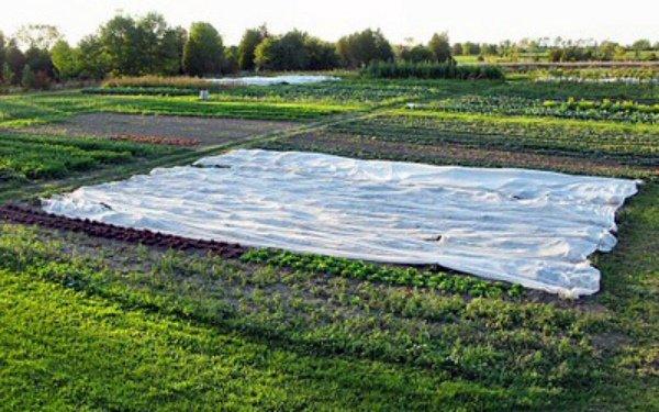 Редиска, выращиваемая в грунте под пленкой
