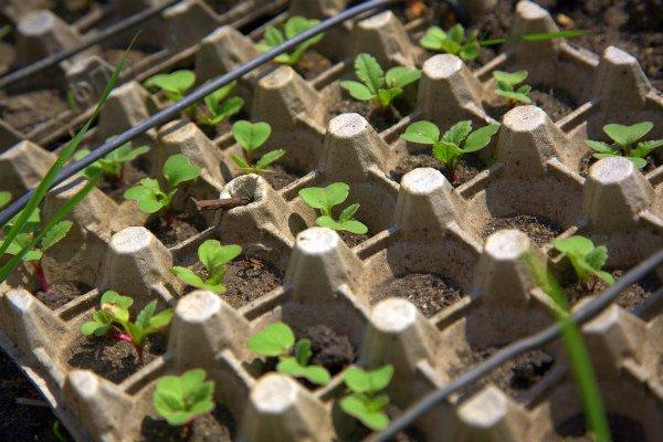 Технология выращивания редиски в яичных лотках