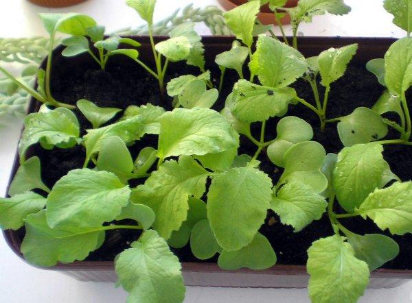 Выращивание домашнего редиса в лотках