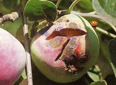 """Болезнь плодов яблони """"Звездочка"""""""