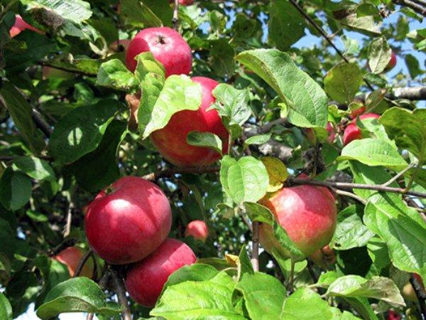 Спелые яблоки Звездочка на ветке
