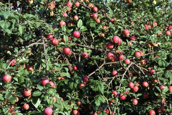 Плодоносящая яблоня сорта Звездочка